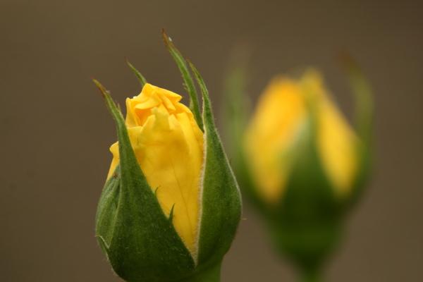 141012-rose-03.jpg