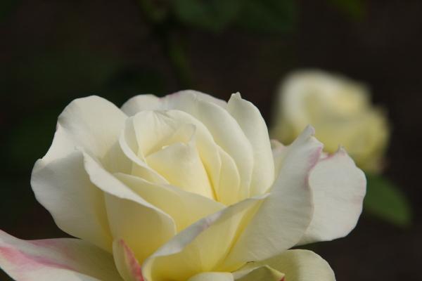 141012-rose-04.jpg