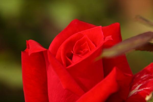 141012-rose-05.jpg