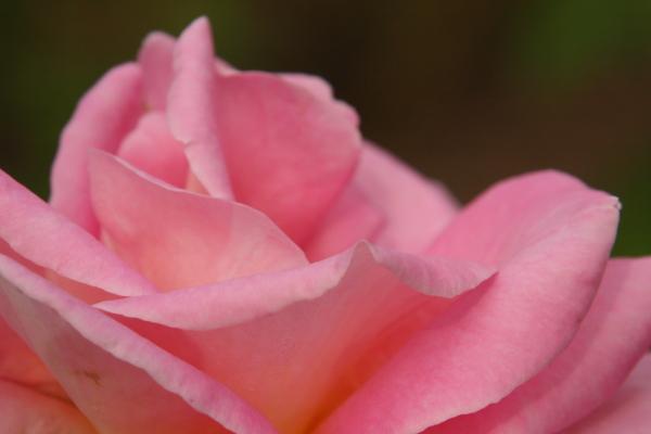 141012-rose-07.jpg
