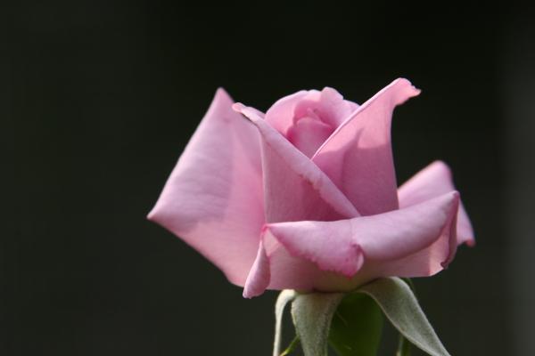 141012-rose-08.jpg