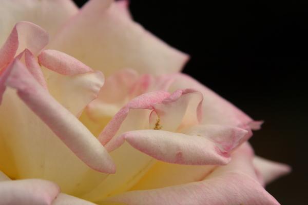 141012-rose-11.jpg