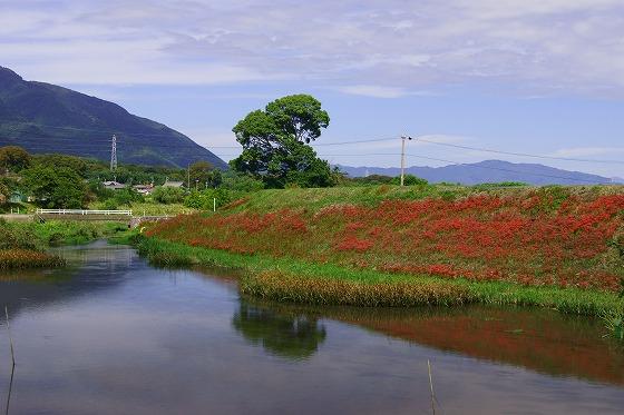 140926津屋川のヒガンバナ-2