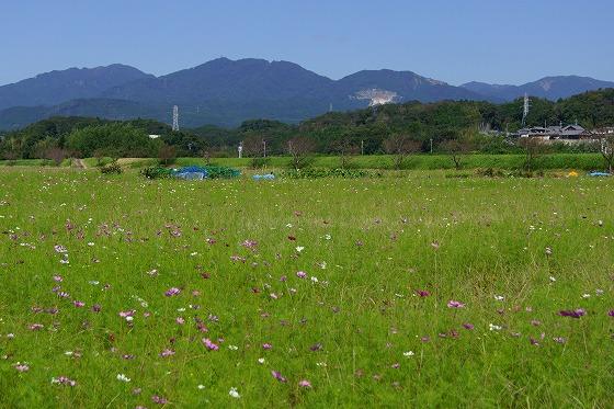 140927亀山コスモス畑