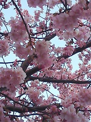 2014-02-26 三浦海岸河津桜