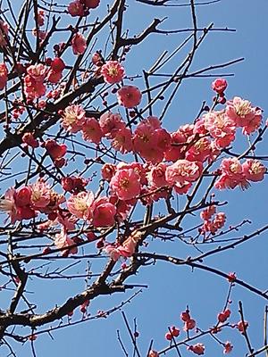 2014-02-26 妙本寺梅2 (1)