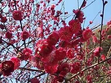 2014-02-26 妙本寺梅2 (2)