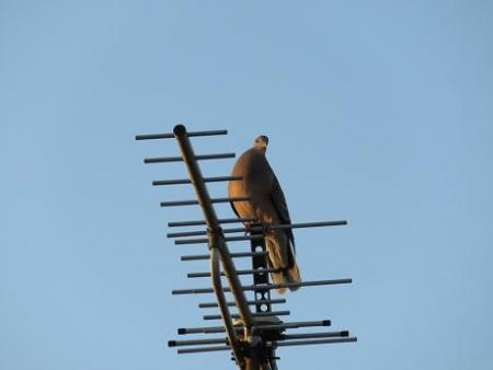 朝の鳩 004