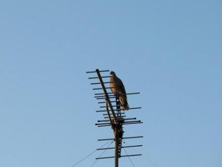 朝の鳩 002