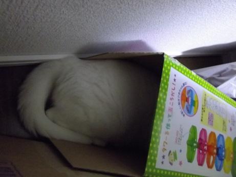 箱に入るふきちゃん3