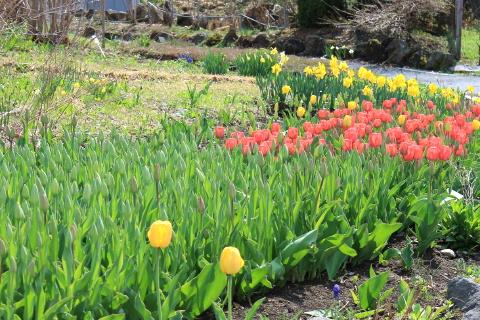 140501garden_tulip (480x320)