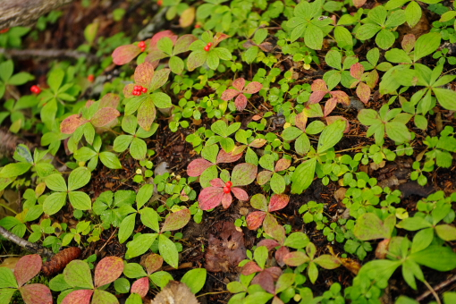 オセロのように紅葉が進んでいます