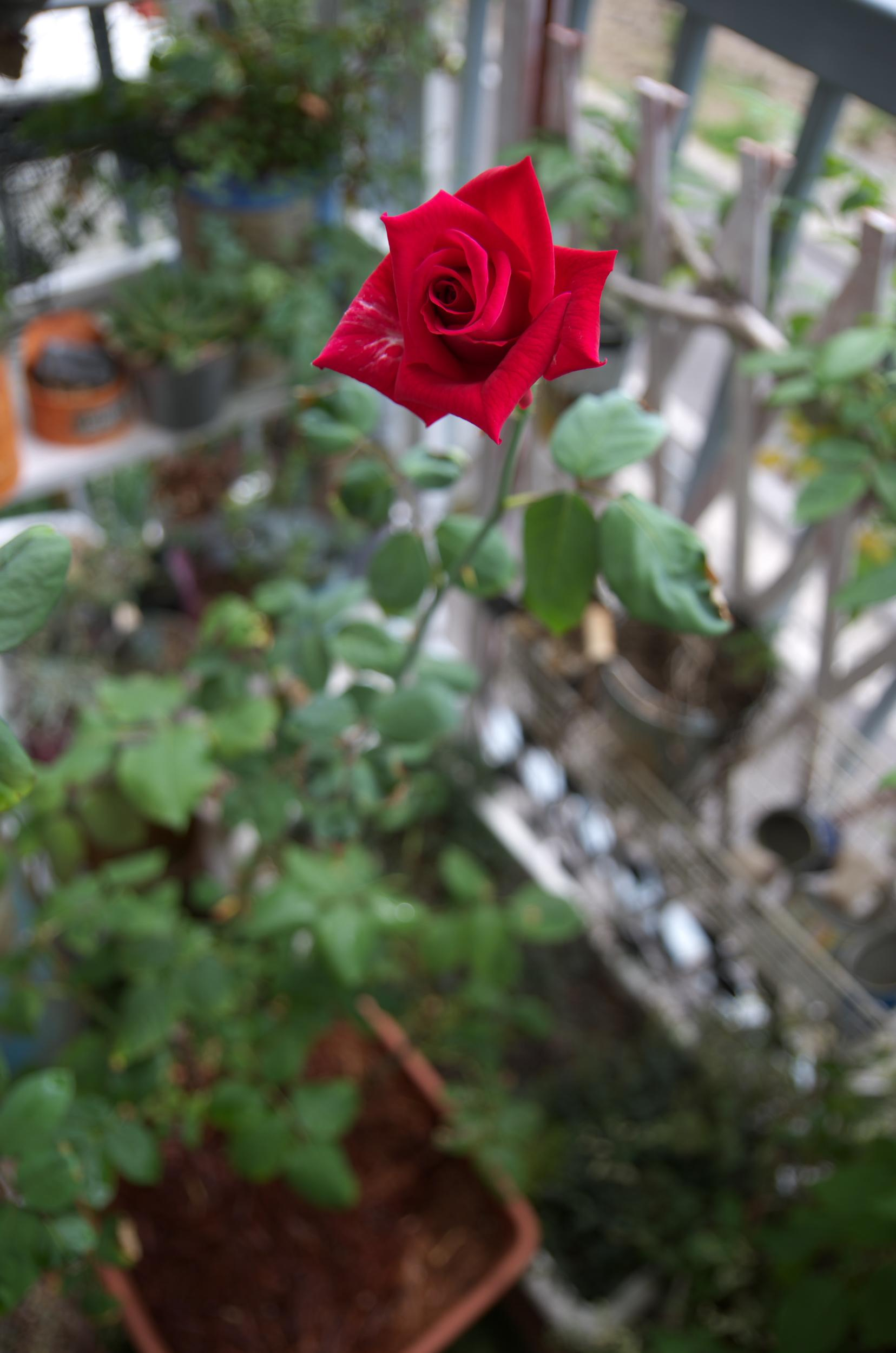 薔薇201407