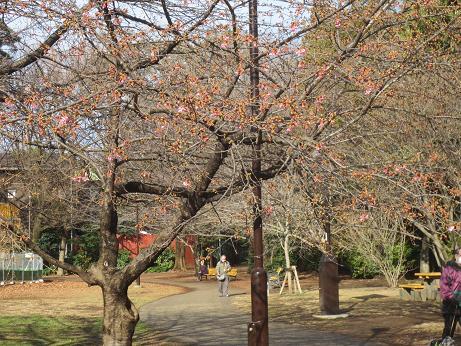 井の頭公園河津桜140228