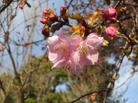 井の頭公園河津桜つぼみ140228