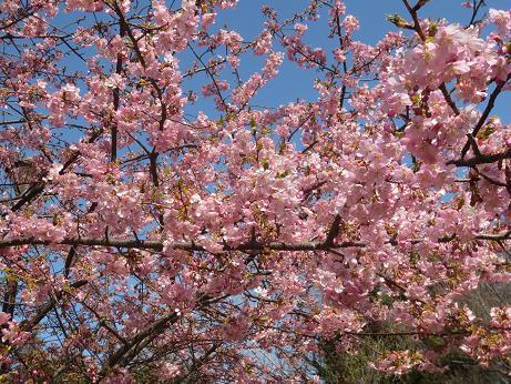 早咲き桜満開アップ