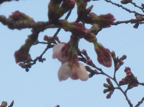 井の頭公園桜2輪咲く