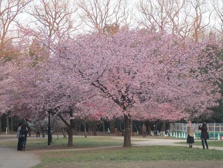 井の頭公園大寒桜満開140325