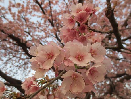大寒桜アップ140325