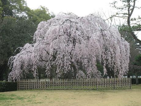 京都御所早咲枝垂桜