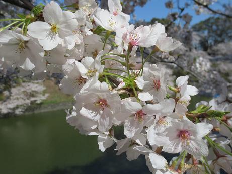 桜千鳥が淵アップ140331