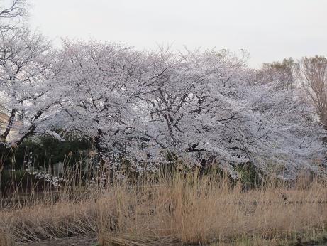 桜善福寺公園140401