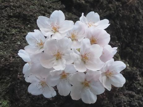 桜善福寺公園140401ブーケ