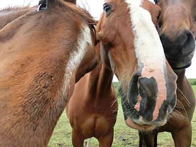 Normandy_horse02.jpg