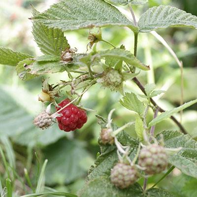 rasberry05.jpg