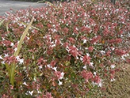 生垣に花2