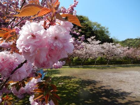 鹿野温泉公園 八重桜の並木#2