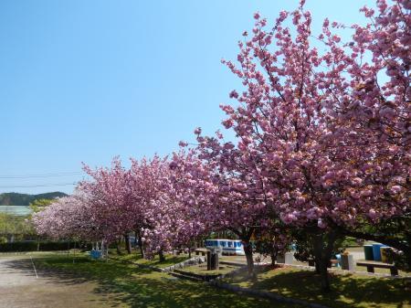 鹿野温泉公園 八重桜の並木