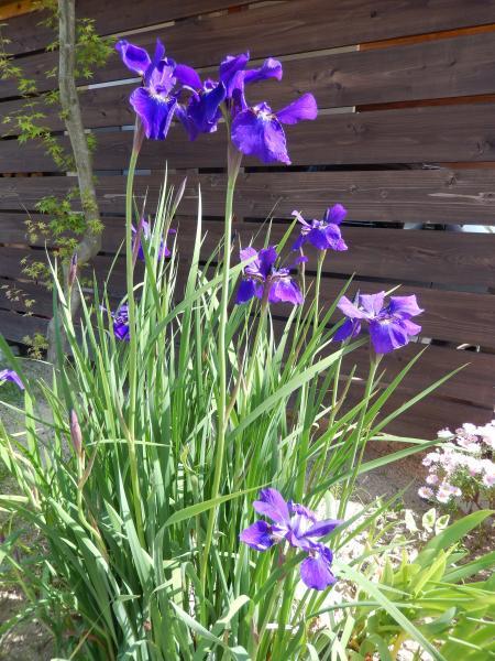 平成26年5月の花壇#2