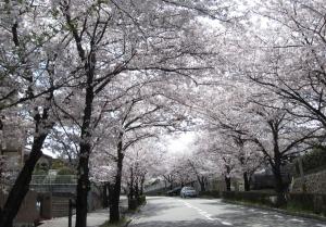 26年4月桜