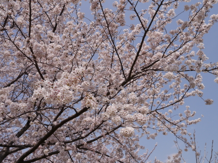 臨港パーク 桜