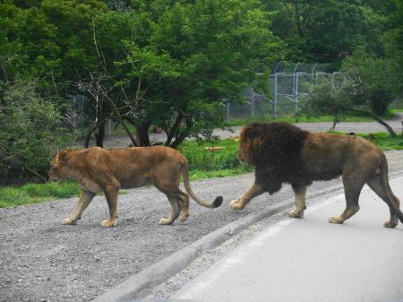 サファリパークを歩くライオン