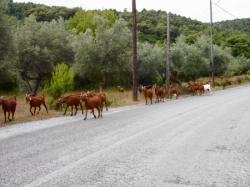 道路沿いのヤギ