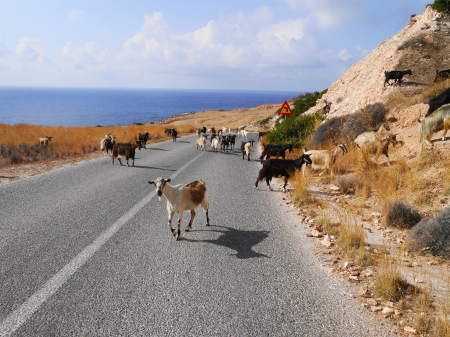 ミロス島のヤギ