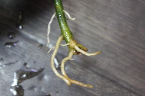 Aglaonema pictum Volcano 東海 岐阜 熱帯魚 水草 観葉植物販売 Grow aquarium