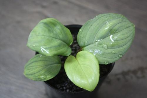ホマロメナsp.リンガストライプ 東海 岐阜 熱帯魚 水草 観葉植物販売 Grow aquarium