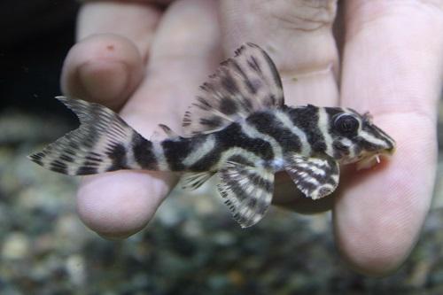 ロイヤルゼブラ 東海 岐阜 熱帯魚 水草 観葉植物販売 Grow aquarium