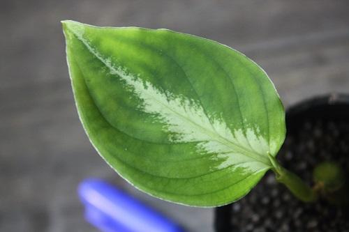 アグラオネマ ピクタム トリカラー14年2月便 東海 岐阜 熱帯魚 水草 観葉植物販売 Grow aquarium