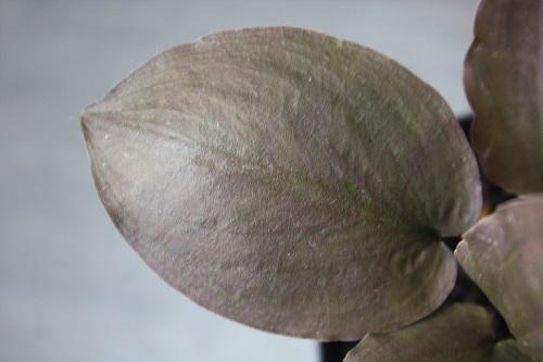 ラゲナンドラ ミーボルディ 東海 岐阜 熱帯魚 水草 観葉植物販売 Grow aquarium