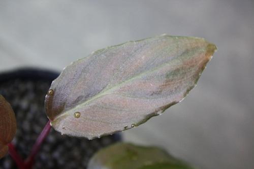 フルタドアsp.レッド 東海 岐阜 熱帯魚 水草 観葉植物販売 Grow aquarium
