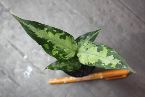 アグラオネマ ピクタム トリカラー西スマトラ 東海 岐阜 熱帯魚 水草 観葉植物販売 Grow aquarium