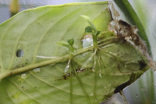 スキスマトグロッティス 東海 岐阜 熱帯魚 水草 観葉植物販売 Grow aquarium