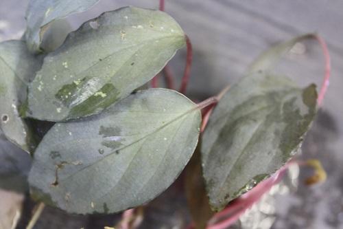 ホマロメナsp.シルバーベルベット 東海 岐阜 熱帯魚 水草 観葉植物販売 Grow aquarium