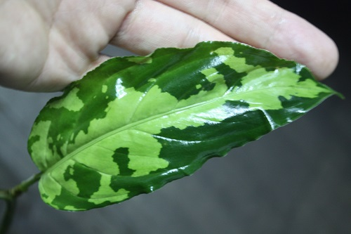 Aglaonema pictum tricolor No.18 東海 岐阜 熱帯魚 水草 観葉植物販売 Grow aquarium