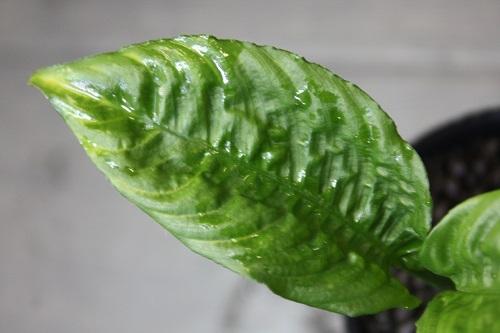 スキスマトグロッティスsp.ベントン 東海 岐阜 熱帯魚 水草 観葉植物販売 Grow aquarium