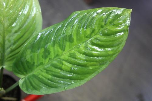 スキスマトグロッティスsp.迷彩物 東海 岐阜 熱帯魚 水草 観葉植物販売 Grow aquarium